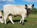 RLC Farms MN LLC British White Cattle
