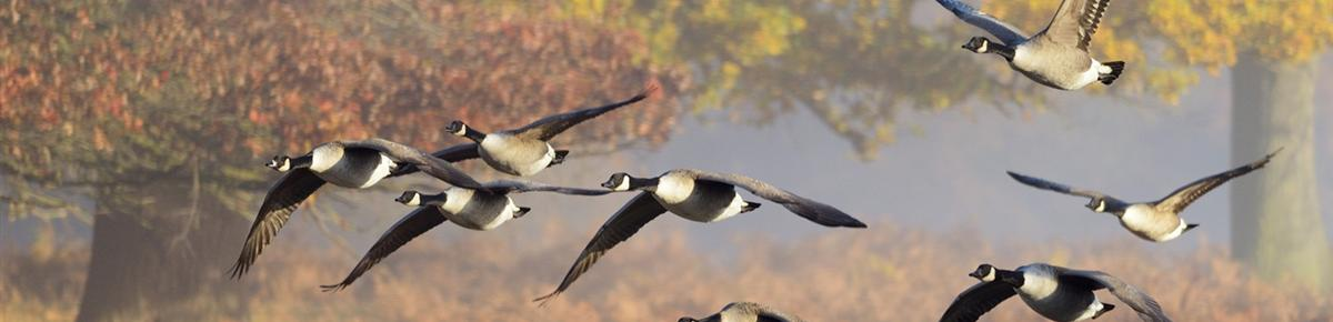 Geese Police of Western Pennsylvania PA Canada Geese in flight