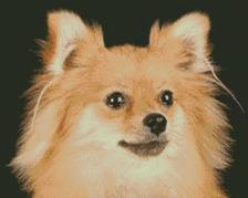 Cross Stitch Chart of a Pomeranian