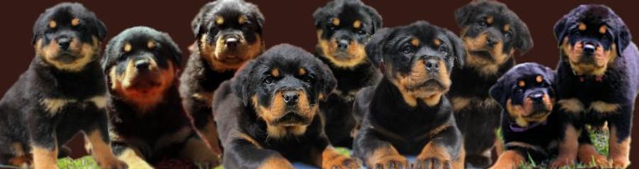 Von Philhaus Rottweilers Rottweiler Puppies For Sale In Nc
