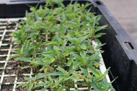 Pythium Root Rot in Hemp Seedlings and Cuttings
