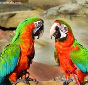 Harlequin Macaw for sale