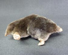 Adrian Johnstone, professional Taxidermist since 1981. Supplier to private collectors, schools, museums, businesses, and the entertainment world. Taxidermy is highly collectable. A taxidermy stuffed Double Headed Mole, in excellent condition.