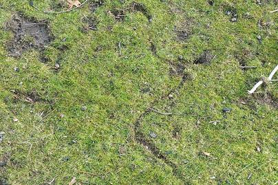 Meadow vole damage to lawn