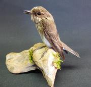 Adrian Johnstone, professional Taxidermist since 1981. Supplier to private collectors, schools, museums, businesses, and the entertainment world. Taxidermy is highly collectable. A taxidermy stuffed adult Spotted Flycatcher (9354), in excellent condition.