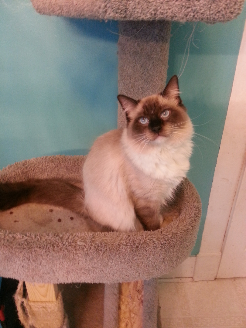 Ragdoll Ridge - ragdoll kittens for sale, ragdoll cats, ragdoll ...
