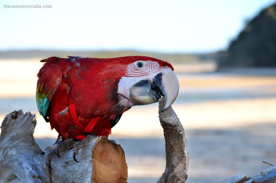 Green Winged Macaws Australia