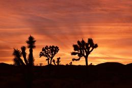 Fiery Sunset at Joshua Tree