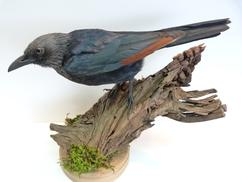 Adrian Johnstone, Professional Taxidermist since 1981. Supplier to private collectors, schools, museums, businesses and the entertainment world. Taxidermy is highly collectable. A taxidermy stuffed male Red Winged Starling, in excellent condition.