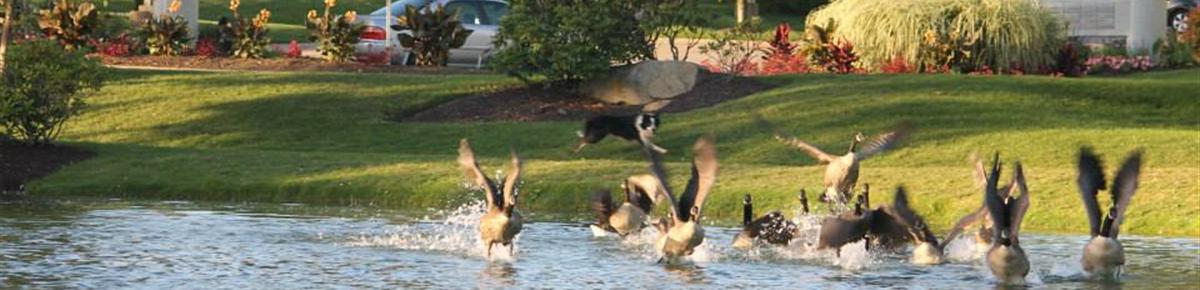 Geese Police of Western Pennsylvania PA Flock of Canada geese taking fligh boarder collie gives chase