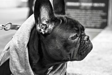 Caring For Your French Bulldog
