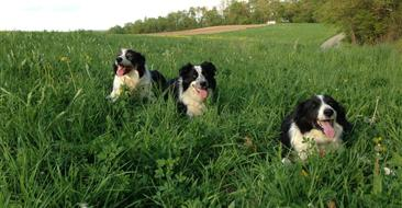 Geese Police of Western Pennsylvania PA Boarder collies resting in a feild of grass