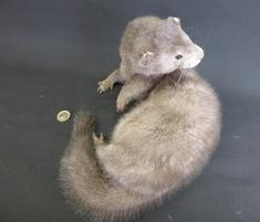 Adrian Johnstone, professional Taxidermist since 1981. Supplier to private collectors, schools, museums, businesses, and the entertainment world. Taxidermy is highly collectable. A taxidermy stuffed adult Silver Mink (5), in excellent condition.