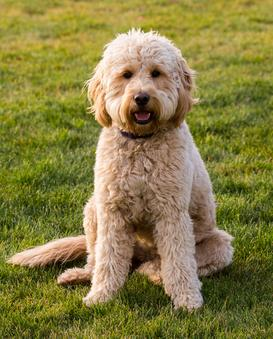Teddybear English Cream Goldendoodle