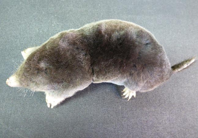 Adrian Johnstone, professional Taxidermist since 1981. Supplier to private collectors, schools, museums, businesses, and the entertainment world. Taxidermy is highly collectable. A taxidermy stuffed Mole (no:23), in excellent condition.