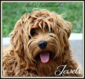Hale's Australian Labradoodle named Jewels