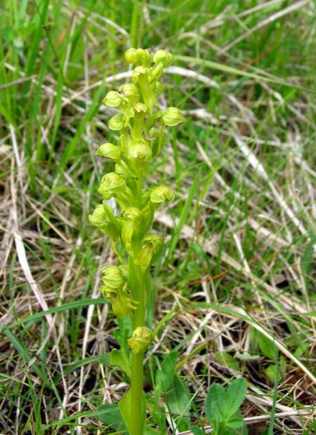 Frog-orchid-in-France