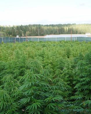 Washington Marijuana Field