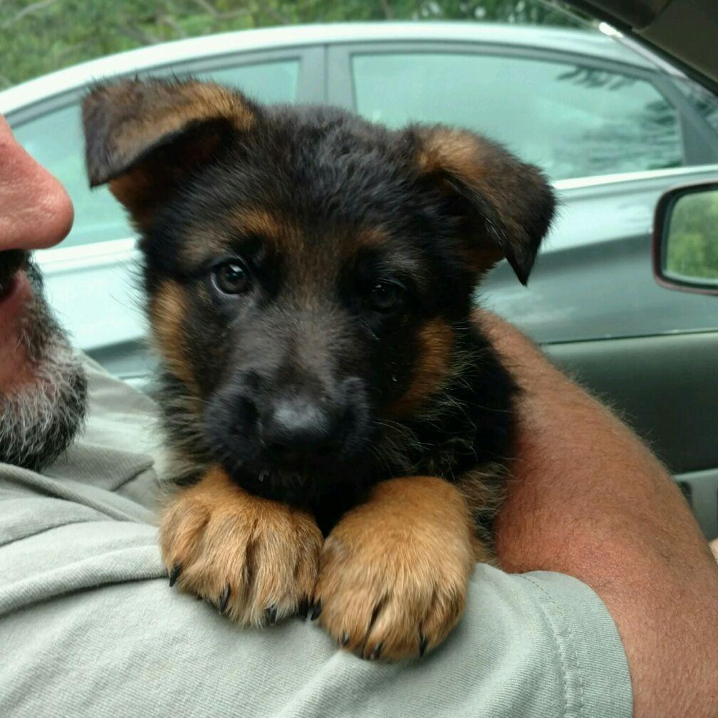 Akc German Shepherd Puppies For Sale - Schaeffer Haus Gsd