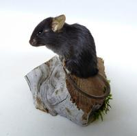 Adrian Johnstone, professional Taxidermist since 1981. Supplier to private collectors, schools, museums, businesses, and the entertainment world. Taxidermy is highly collectable. A taxidermy stuffed Black Mouse (677), in excellent condition. Mobile: 07745 399515 Email: adrianjohnstone@btinternet.com