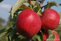 Rim's Edge Orchard Pick Your Own Gala Apple