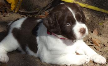 Texas Star Kennels Brittany Spaniel Puppy Brittany Puppy French