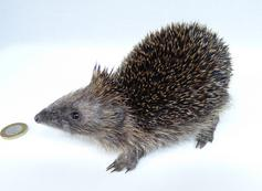 Adrian Johnstone, professional Taxidermist since 1981. Supplier to private collectors, schools, museums, businesses, and the entertainment world. Taxidermy is highly collectable. A taxidermy stuffed Hedgehog (674), in excellent condition. Mobile: 07745 399515 Email: adrianjohnstone@btinternet.com