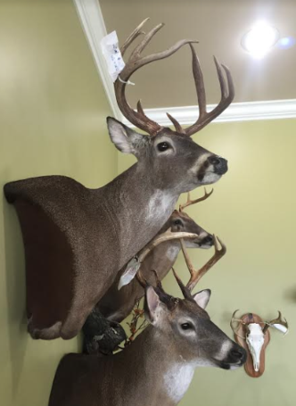Taxidermy Mounts, Deer mount, Deer taxidermy, European mount, Deer wall ped, buck mount, Louisiana deer