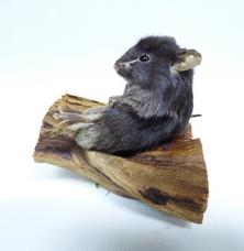 Adrian Johnstone, professional Taxidermist since 1981. Supplier to private collectors, schools, museums, businesses, and the entertainment world. Taxidermy is highly collectable. A taxidermy stuffed Black Mouse (682) in excellent condition. Mobile: 07745 399515 Email: adrianjohnstone@btinternet.com