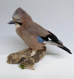 Adrian Johnstone, professional Taxidermist since 1981. Supplier to private collectors, schools, museums, businesses, and the entertainment world. Taxidermy is highly collectable. A taxidermy stuffed Jay (9233), in excellent condition.