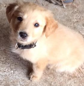 Golden Retriever puppy learning to sit