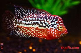 Rare high quality flowerhorn Kingkamfa for sale lou han fish