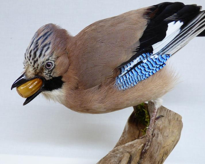 Adrian Johnstone, Professional Taxidermist since 1981. Supplier to private collectors, schools, museums, businesses and the entertainment world. Taxidermy is highly collectible. A taxidermy stuffed Jay (8225), in excellent condition.
