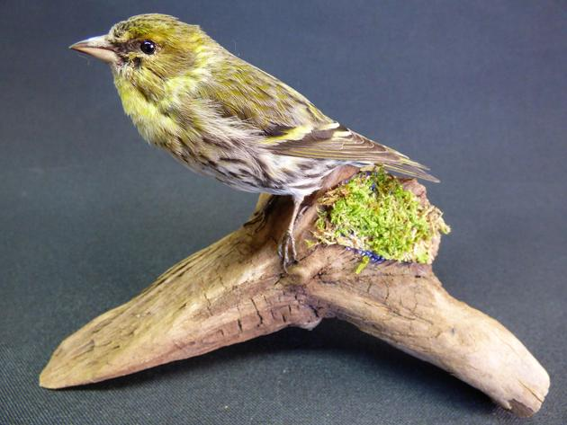 Adrian Johnstone, professional Taxidermist since 1981. Supplier to private collectors, schools, museums, businesses, and the entertainment world. Taxidermy is highly collectable. A taxidermy stuffed female Siskin (9600), in excellent condition.