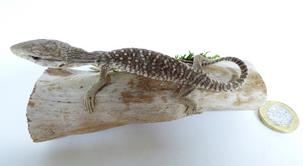 Adrian Johnstone, professional Taxidermist since 1981. Supplier to private collectors, schools, museums, businesses, and the entertainment world. Taxidermy is highly collectible. A taxidermy stuffed White Spotted Lizard (528), in excellent condition. Mobile: 07745 399515 Email: adrianjohnstone@btinternet.com