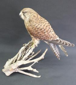 Adrian Johnstone, professional Taxidermist since 1981. Supplier to private collectors, schools, museums, businesses, and the entertainment world. Taxidermy is highly collectable. A taxidermy stuffed Kestrel (9489), in excellent condition.