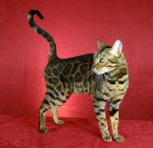 Bengal Chateau Cattery - Bengale' Chateau Cattery Exotic