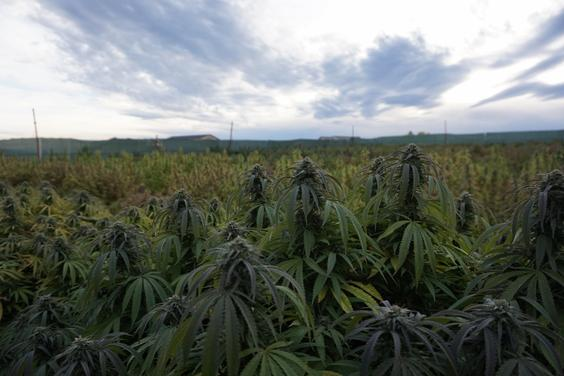 Outdoor Cannabis Field