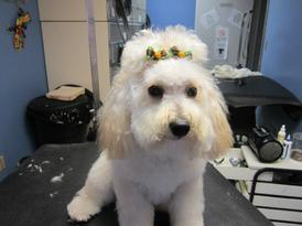 Cute Dog in Grooming