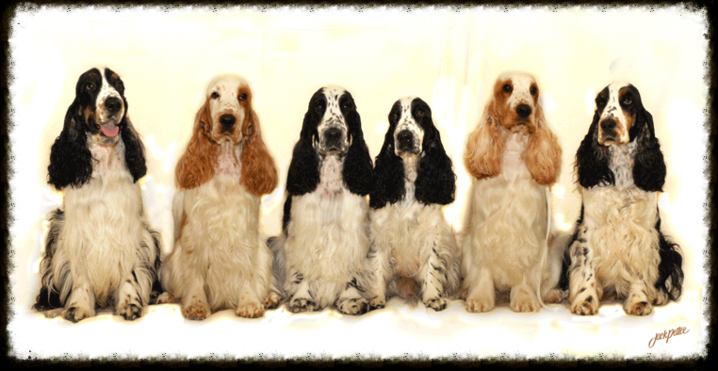 BarristerEnglish Cocker Spaniels