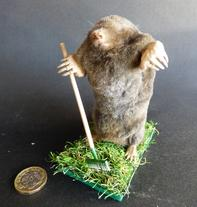 Adrian Johnstone, professional Taxidermist since 1981. Supplier to private collectors, schools, museums, businesses, and the entertainment world. Taxidermy is highly collectable. A taxidermy stuffed Gardening Mole (53), in excellent condition.