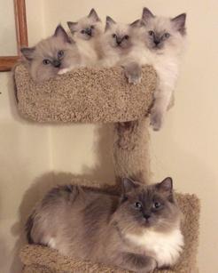 ragdoll kittens, ragdoll cats, ragdoll kittens for sale