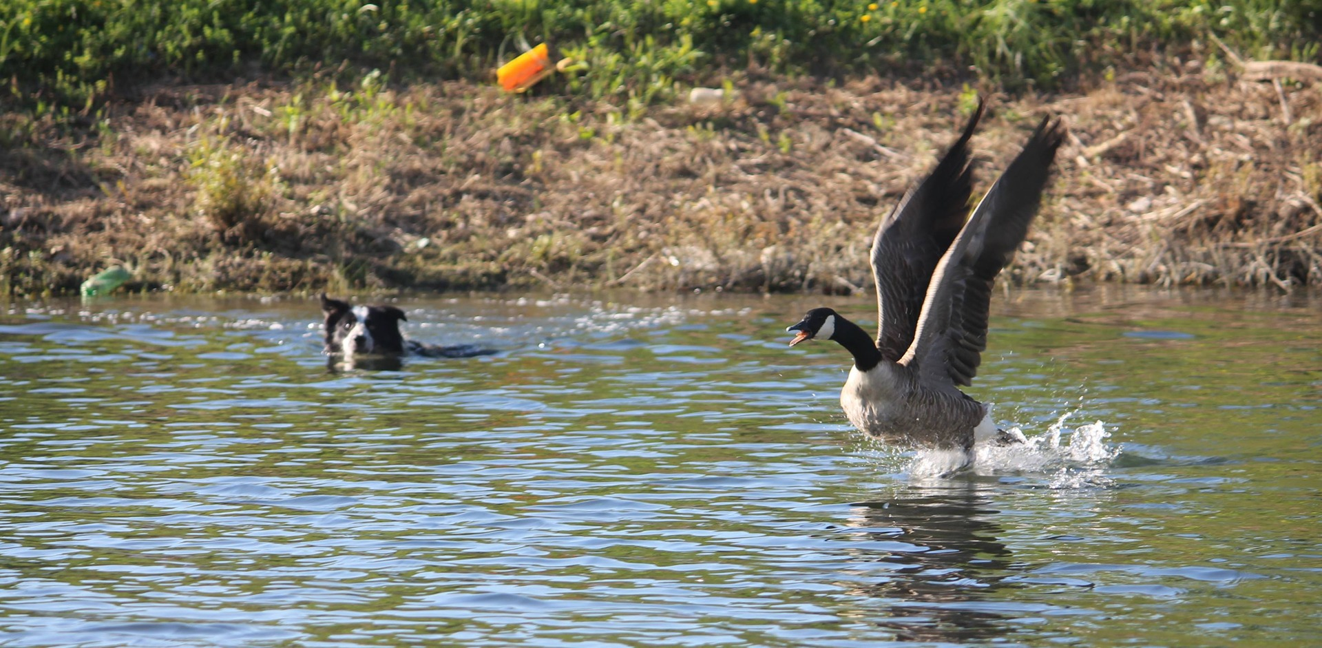 Geese Police of Western Pennsylvania PA boarder collie swimming in action chasing problem canada geese
