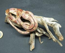 Adrian Johnstone, professional Taxidermist since 1981. Supplier to private collectors, schools, museums, businesses, and the entertainment world. Taxidermy is highly collectible. A taxidermy stuffed Corn Snake (14), in excellent condition.