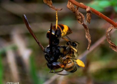 Asian-Hornet-with-captured-honey-bee-in-France