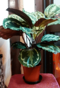 Calathea | House Plants, Indoor plants online | The Little Flower shop Florist