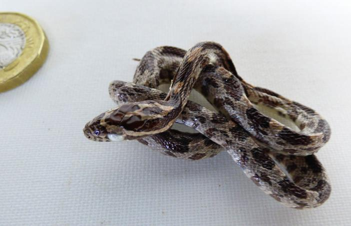 Adrian Johnstone, professional Taxidermist since 1981. Supplier to private collectors, schools, museums, businesses, and the entertainment world. Taxidermy is highly collectable. Taxidermy stuffed Corn Snake (512), in excellent condition.