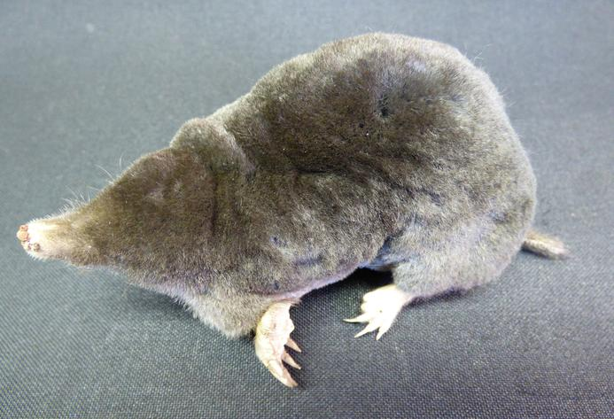 Adrian Johnstone, professional Taxidermist since 1981. Supplier to private collectors, schools, museums, businesses, and the entertainment world. Taxidermy is highly collectable. A taxidermy stuffed Mole (26), in excellent condition.