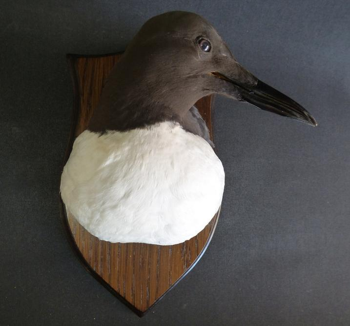 Adrian Johnstone, professional Taxidermist since 1981. Supplier to private collectors, schools, museums, businesses, and the entertainment world. Taxidermy is highly collectible. A taxidermy stuffed Guillemot Head On Shield (9777), in excellent condition.