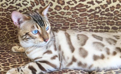 essential oil cat